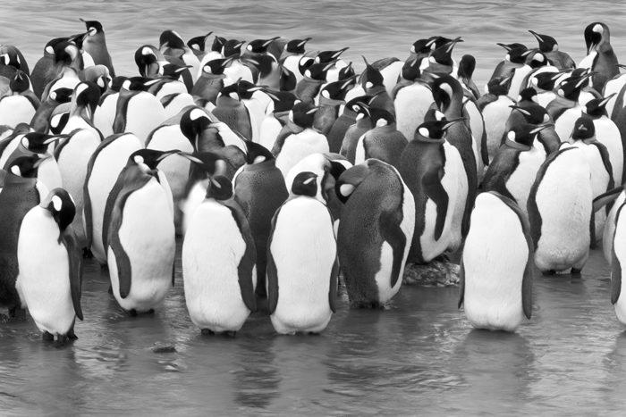 Kungspingviner vid Saint Andrews Bay , Syd Georgien.